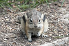 Golden-mantled Ground Squirrel -- Pups (Spermophilus lateralis); Santa Fe National Forest, NM, Thompson Ridge [Lou Feltz] (deserttoad) Tags: mountain newmexico nature animal fauna mammal rodent squirrel behavior