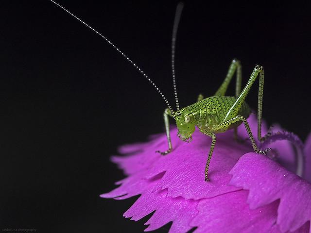 Speckled bush cricket,  Punktierte Zartschrecke (Leptophyses punctatissima)