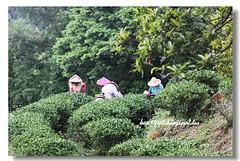 IMG_0336 (盒子(Box)) Tags: 三峽 茶園 槭樹 蛇莓 菫菜 薊 森林步道 鳥不踏 扛板歸 熊空農場 台灣農林 熊空休閒農場 熊空茶園 海拔七百公尺