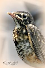 Juvenille (socalgal_64) Tags: wild portrait baby bird nature robin wings natural pennsylvania beak feathers chick pa immature juvenille specanimal northamptonpa carolynlandi