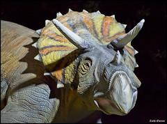 Triceratops 9043 (Zachi Evenor) Tags: israel dinosaur jerusalem botanicgarden  botanicalgarden  dinosaurs animatronics triceratops 2015 jerusale dinosauria givatram  ceratopsia  ceratopsidae  zachievenor   triceratopses