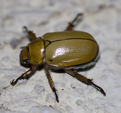 Cotalpa consobrina (IvanTortuga) Tags: animal insect beetle animalia arthropoda scarab arthropod coleoptera insecta scarabaeidae rutelinae shiningleafchafer polyphaga scarabaeoidea cotalpaconsobrina cotalpa rutelini