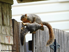 Who Knew There Was A Learning Curve For Fence Walking  Part 4 (Kaptured by Kala) Tags: baby nature fence squirrel squirrels mama klutz babysquirrel foxsquirrel mamaandbaby garlandtexas mamasquirrel fencewalkinglessons