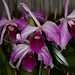 Laelia purpurata – Anita Spencer