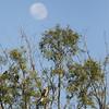 2016.11.17.06.17.52-Whistling Kite (www.davidmolloyphotography.com) Tags: newsouthwales menindee kinchega kincheganationalpark lake dawn moon whistlingkite bird raptor
