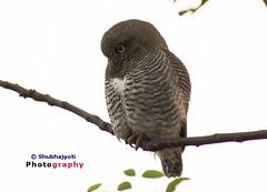 Owl_2 (mshubhajyoti) Tags: iit burrowingowls owl nocturnalbirdsiitkanpur small birds kanpur