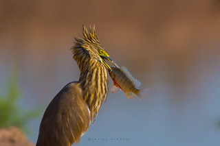 A portrait of Indian Pond Heron With Catch