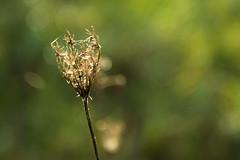 winter in a small dry claw (phacelias) Tags: umbelliferae schermbloemen detail dettaglio green verde groen backlight tegenlicht controluce