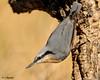 Trepador Azul (rubinat) Tags: animales aves birds bird ibericos fauna pajaros nikon naturaleza natura nature