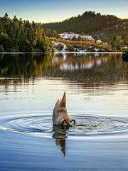 Lost something?, Norway (Vest der ute) Tags: xt2 norway rogaland haugesund djupadalen eivindsvatnet swan water waterscape houses trees reflections sky fav25 fav200