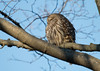 Sweet lil puff ball sunning himself (NicoleW0000) Tags: barred owl wildlife photography winter