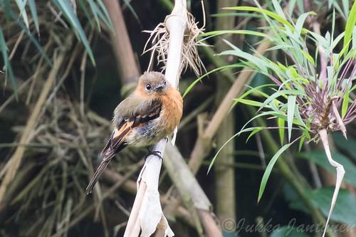Cinnamon Flycatcher (Pyrrhomyias cinnamomeus), Nov 1 2016, Parque Chicaque, Soacha, Colombia