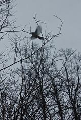 (Carli Vögel) Tags: carlivögel minimal magic nature dead trees winter birds chickadee adirondack