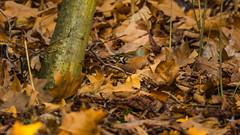 Buchfink (fredy_egdorf) Tags: 169 2017 buchfink nordkirchen schlossnordkirchen schlosspark tiere vögel