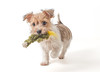 Myrtle (Chris Willis 10) Tags: dog puppy myrtle jack russell
