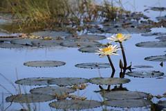 pool (daniel.virella) Tags: djudj senegal water birdsanctuary reflection reflex nature river senegalriver djudjnationalbirdsanctuary unescoworldheritagelist unesco lotus flower