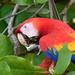 A scarlet macaw enjoying breakfast
