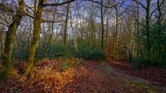 Where is winter? (TanzPanorama) Tags: woods forest england addington january seasons 4seasons sonya7ii fe1635mmf4zaoss sel1635z sonyilce7m2 variotessartfe1635mmf4zaoss winter globalwarming landscape tree foliage leaves tanzpanorama surrey croydon