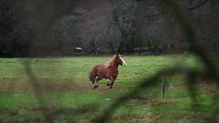 Trait Breton - (FloLfp) Tags: cheval trait breton horse campagne bretagne champ galop plaisir bzh breizh