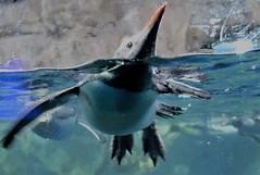 TROUBLED (PINOY PHOTOGRAPHER) Tags: orakei kellytartlon sealife aquarium auckland newzealand world