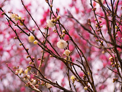 Red and white (sonica@2006) Tags: ed white spring is close my heart will probably dance japan ume plumblossoms blooming epm2 olympus bokeh