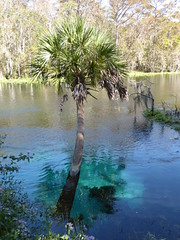 Ocala, FL, Silver Springs State Park, Silver River, Palm Tree (Mary Warren (8.7+ Million Views)) Tags: ocalafl silverspringsstatepark silverriver water river blue nature flora tree palmtree