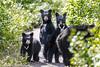 Black bear, Waterton NP,  Canada (Manuel ROMARIS) Tags: alberta watertonnp blackbear