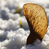 Trapped in the snow (FocusPocus Photography) Tags: samen seedhead seed ahorn maple ahornsamen schnee snow winter