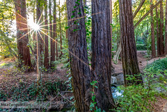 Redwoods (Michael Zampelli) Tags: millvalley california unitedstates us redwoods trees forest green foliage stream sunburst bayarea marin