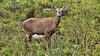 Huemul (Miradortigre) Tags: huemul deer patagonia chile arge argentina fauna animal earth nature naturaleza tierra