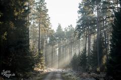 Beautiful Light (judithrouge) Tags: rays raysoflight lichtstrahl licht wald forest way weg woods trees bäume raureif whitefrost hoarfrost germany deutschland