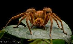 Spider (Ville.V.) Tags: spider mindo ecuador wild wildlife animals