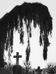 VEGETAL TEARS (didi tokaoui) Tags: didi tokaoui photo vegetal tears larmes vegetales noir et blanc black and white tree arbre cimetiere cimetery