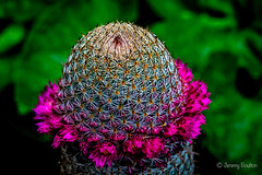 Prickley Prick (JKmedia) Tags: floral cacti cactus spike prick prickles sharp ouch spain flower flora plant boultonphotography 2016 texture pattern