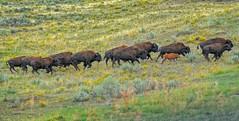 Stampede (Philip Kuntz) Tags: bison buffalo bisonstampede stampede bisonbonasus lamarvalley yellowstone yellowstonenationalpark wyoming
