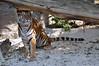 Bajo el tronco (castorssito) Tags: tigre tiger bigcat felino feline granfelino nikon nikond3200 chapultepec chapultepeczoo