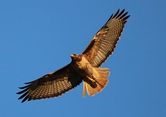 Red tailed hawk soars in the evening sun *EXPLORE* (avilacats) Tags: