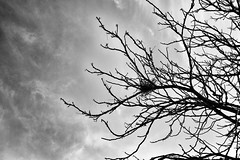 """The branches exist, the wind that raises them exists and the unique drawing of its branches"" Alphabet, Inger Christensen. (Luis Iturmendi) Tags: tree nido bird pájaro árbol heaven bw blancoynegro cielo blackandwhite monochrome monocromo"
