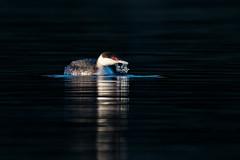 Drinking (Adam Wang) Tags: bird westerngrebe nature wildlife