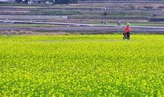 騎在黃色波浪中 (丸子呆) Tags: rapeflower 油菜花 台東 池上 伯朗大道 taiwan taitung 腳踏車 flower