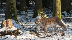 Luchs schleicht sich an (hellrac3r) Tags: wildpark poing bavaria germany animals nikon180mmf28ed d750 tiere outdoor luchs lynx