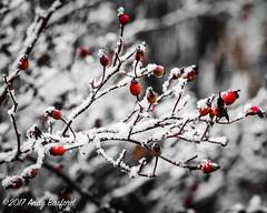 Snow-covered berries, the Nièvre, January 2017 (serial_snapper) Tags: winter républiquefrançaise nièvredépartement bourgognefranchecomtérégion ciez bourgognefranchecomté france fr