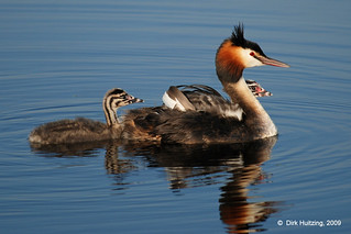 Great Crested Grebe 82gb