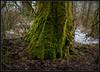 Winter Attire (Ernie Misner) Tags: f8andloveyourtree fortsteilacoompark lakewoodwa lakewood washington tree moss erniemisner nikon d810 lightroom hdr nik capturenx2 cnx2 photoshopcc