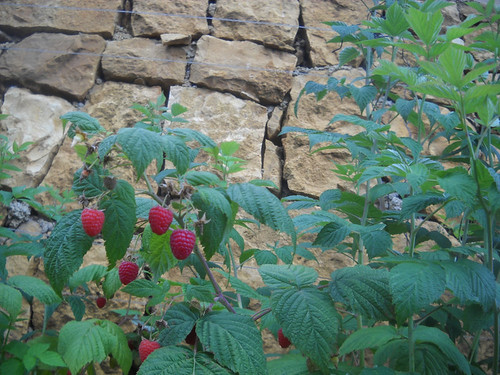 Raspberries fruiting b May 31, 2015