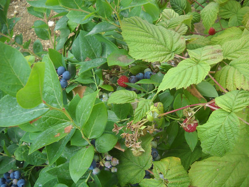 Raspberries fruiting next to Blueberries a May 31, 2015