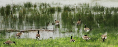 Geese in the Reeds (joeldinda) Tags: vacation bird beach water june reeds geese waterfront michigan sony cybershot goose greatlakes upperpeninsula lakehuron sonycybershot stignace saintignace straitsofmackinac 2015 pocketcam 2870 sonydsch55 dsch55