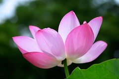 Nelumbo Nucifera (mewtwoo) Tags: pink plant flower tokyo fujifilm  60mm     nelumbo  nelumbonucifera nucifera   xpro1