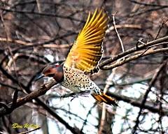 Norther Flicker in flight (don.white55 Thanks a million..) Tags: winter snow bird flicker northernflicker