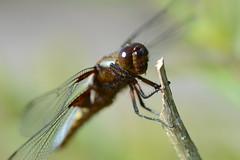 Broad-bodied Chaser, Libellula depressa (willjatkins) Tags: dragonflies dragonfly ponds britishwildlife chaser libellula odonata pondlife broadbodiedchaser libelluladepressa ukwildlife britishdragonflies ukdragonflies britishdragonfly hertfordshirewildlife ukdragonfly britishodonata britishpondlife ukodonata hertfordshireodonata hertfordshiredragonflies hertfordshiredragonfly